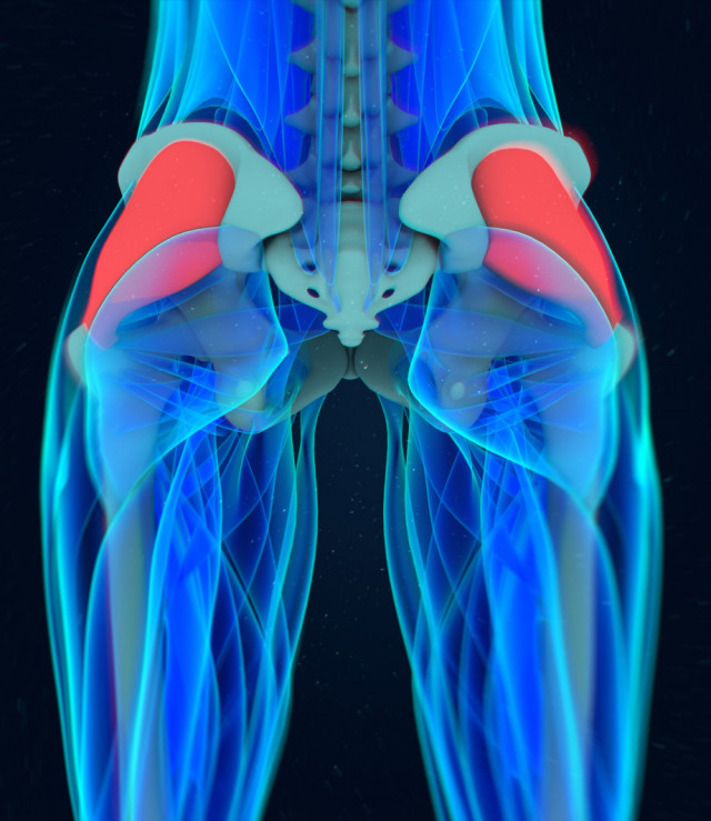 Gluteus Medius illustration